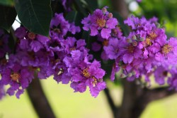 Small Of Trees With Purple Flowers