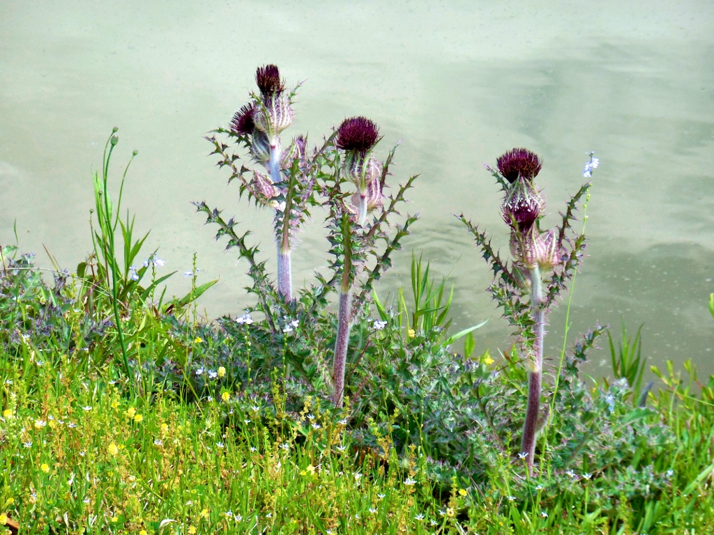 Thistles by the Pond