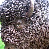 A Buffalo Roams the Capitol Lawn
