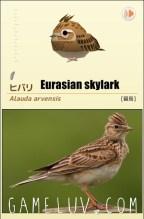 eurasianskylarkgl