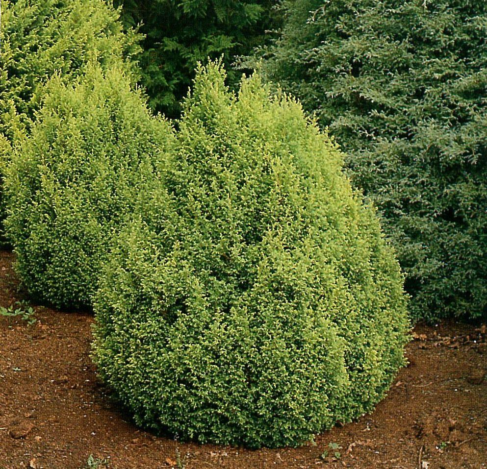 Fullsize Of Gold Mop Cypress