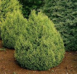 Small Of Gold Mop Cypress
