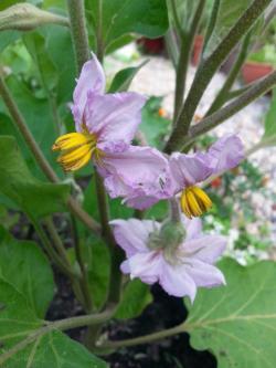 Small Of Black Beauty Eggplant