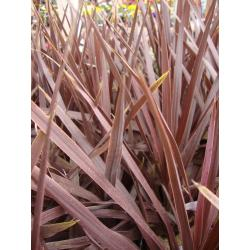 Small Crop Of Cordyline Red Star