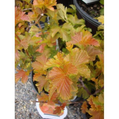 Medium Crop Of Amber Jubilee Ninebark