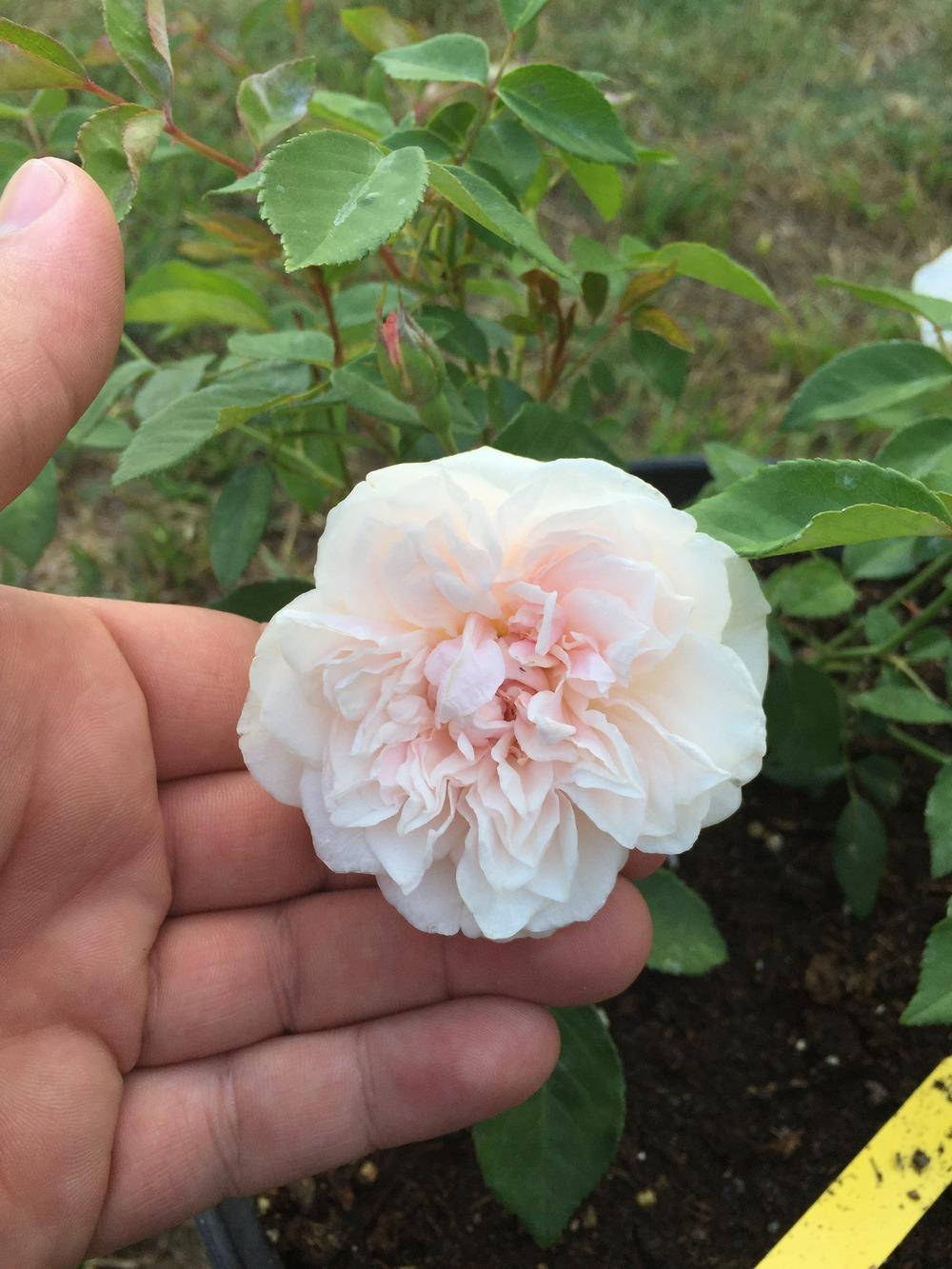 Fullsize Of Rogue Valley Roses