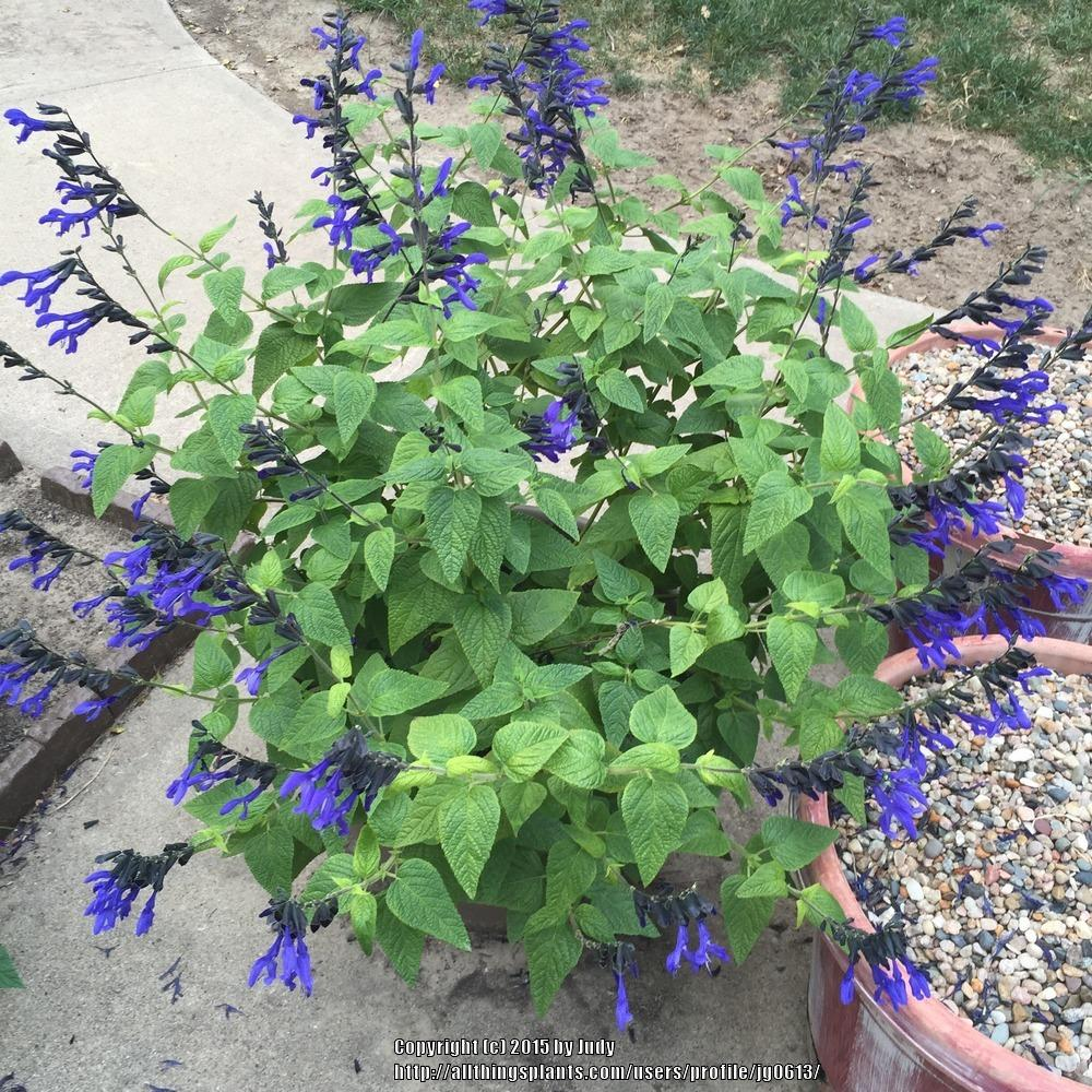 Fullsize Of Black And Blue Salvia