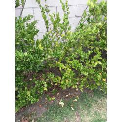 Small Crop Of Wax Leaf Ligustrum