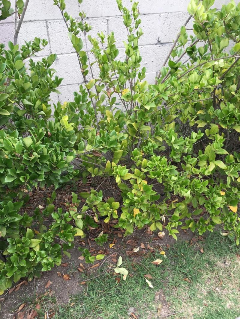 Large Of Wax Leaf Ligustrum