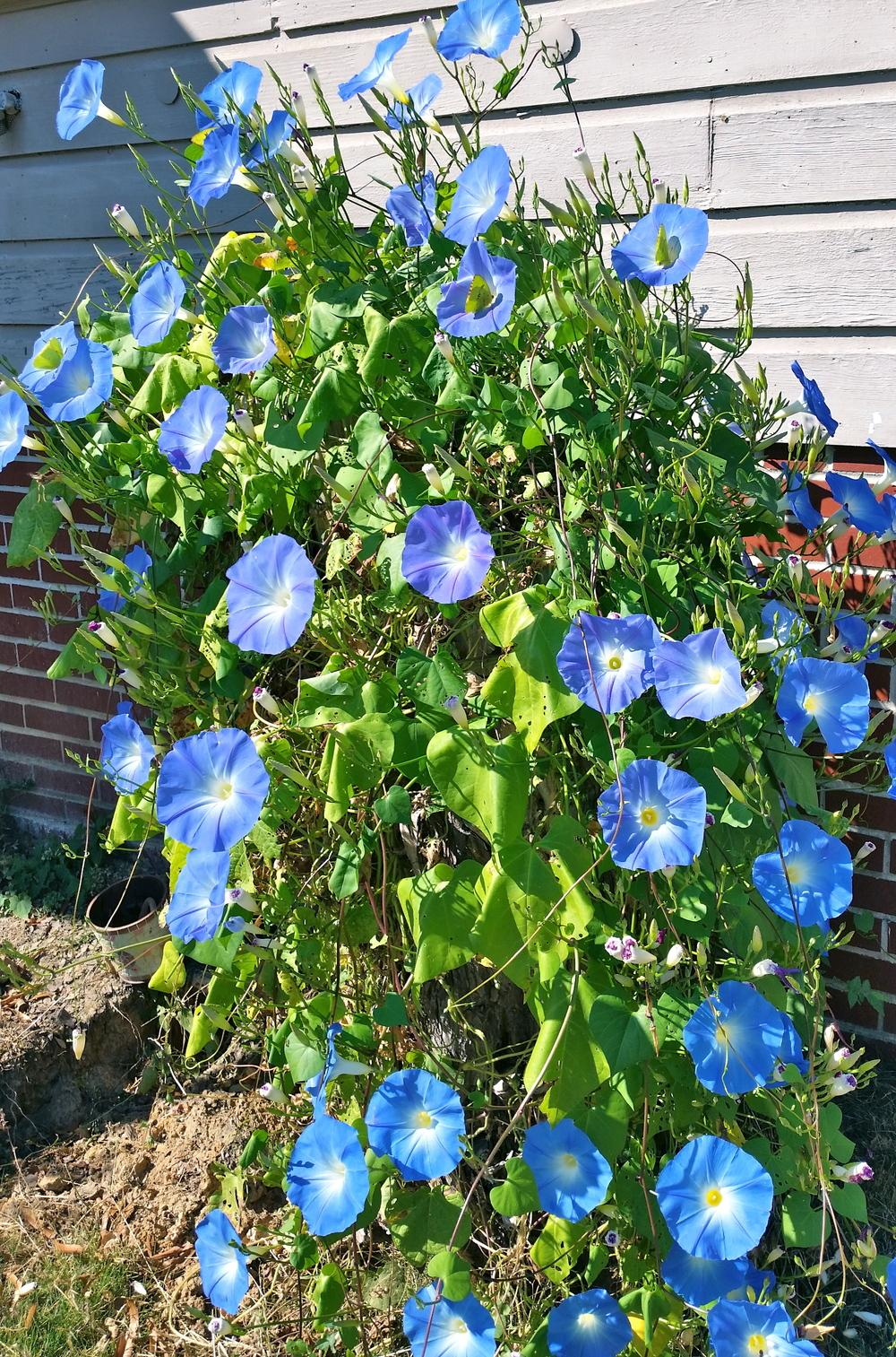 Sterling Seed Trading Heavenly Blue Morning Glory Heavenly Blue Morning Glory Heavenly Blue Morning Glory Seeds Amazon Thumb Plant houzz-03 Heavenly Blue Morning Glory