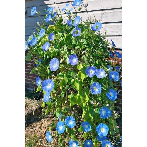 Medium Crop Of Heavenly Blue Morning Glory