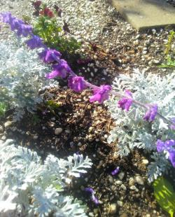 Small Of Mexican Bush Sage