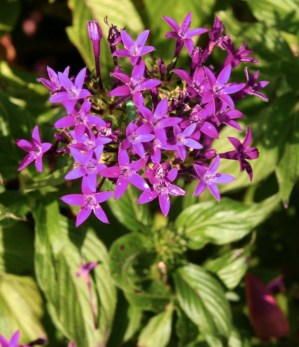 GardenDrum CStewart purple pentas