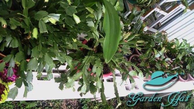 Christmas-cacti-outside-garden-hat
