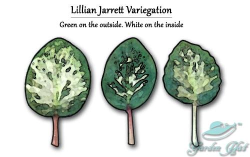 Garden Hat - African Violet Leaf Types - Lillian Jarrett Variegation