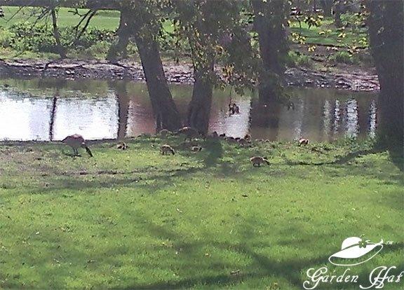 Burlington Wi - Baby Geese!