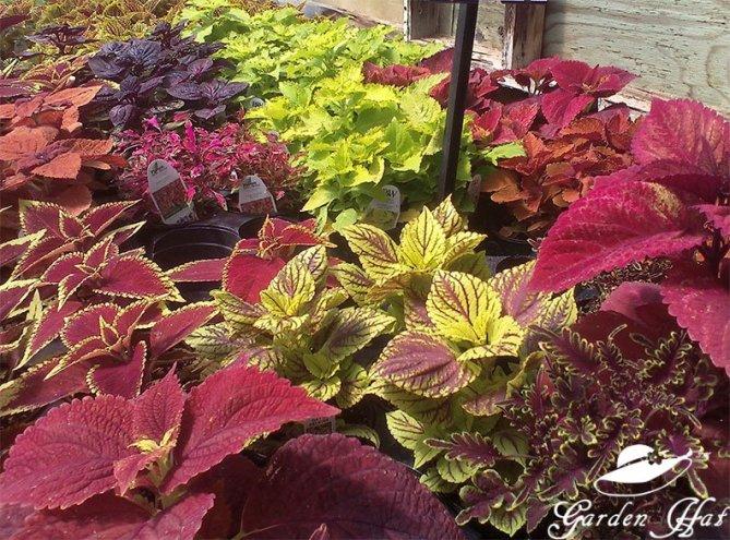 Garden Hat Adventures - Burlington Greenhouse Coleus Closeup