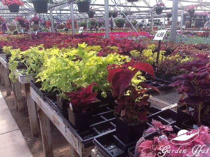 Garden Hat Adventures - Burlington Greenhouse Coleus