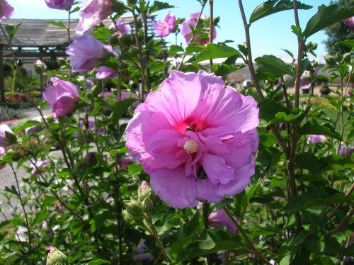 Medium Of Rose Of Sharon Bush