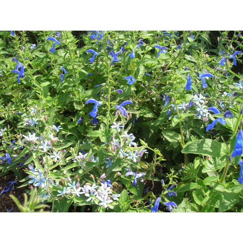 Medium Crop Of May Night Salvias