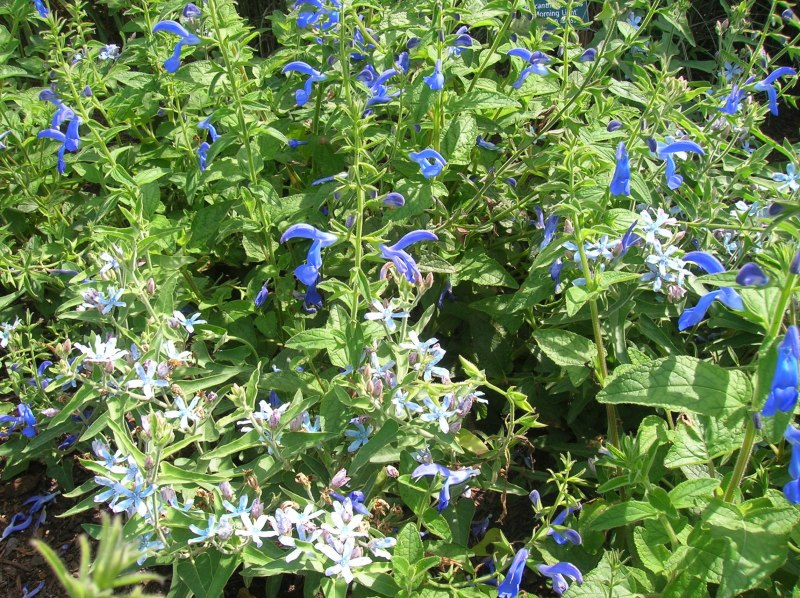 Large Of May Night Salvias