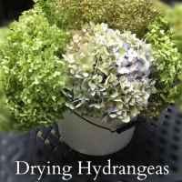 Drying Hydrangeas - Ever Lasting Decor