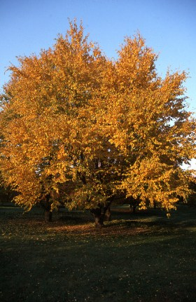 Sweet birch, cherry birch (Betula lenta)