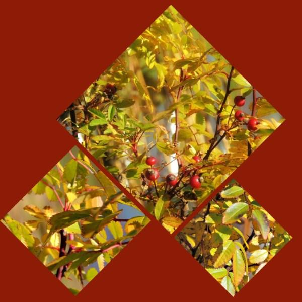 swamp rose collage