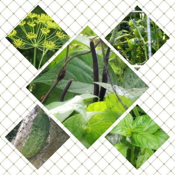 growing harvest herbs veggies