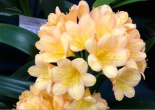 Cream clivea Toowoomba Carnival of Flowers 2015