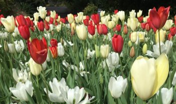 Tulips at the PFS