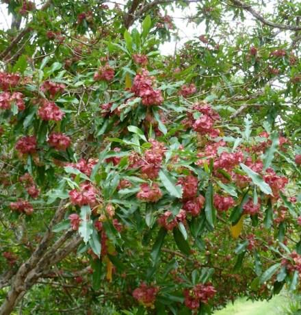 Norfolk Island hop bush