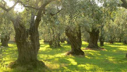 Greece, Thassos - olive trees