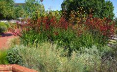 Mass planted kangaroo paw (Anigozanthos)