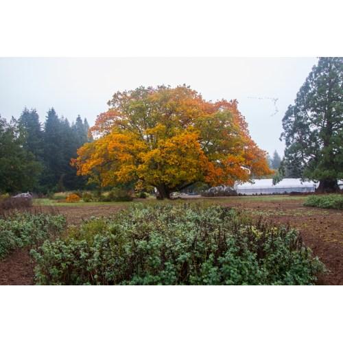Medium Crop Of Pacific Sunset Maple