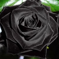 Exotic-Plants-Rose-schwarz-schwarze-Rose-15-Samen-0