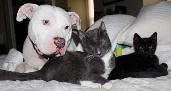 pit bulls adotam gatinhos 3