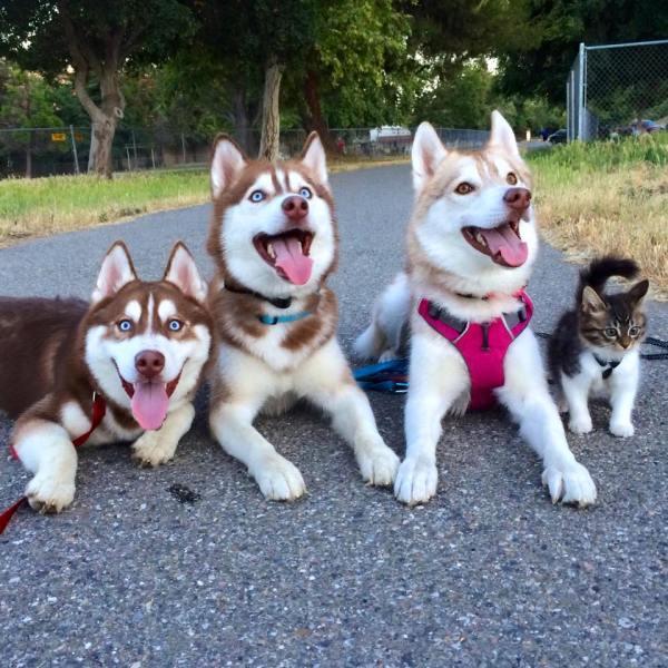 gatinha huskies