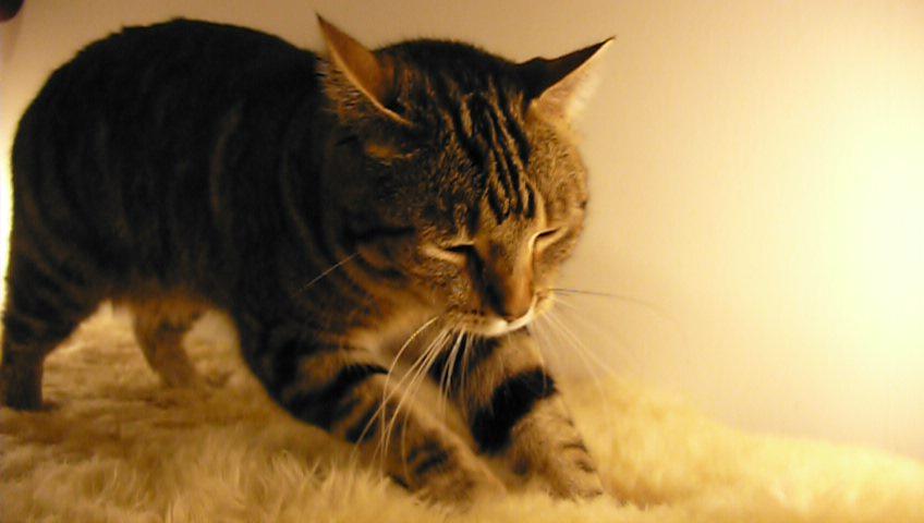Por que os gatos afofam seus humanos?