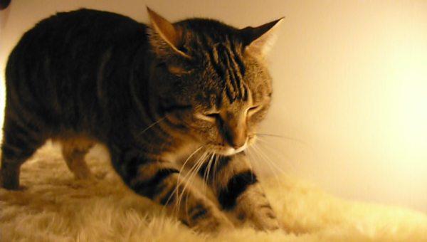 Resultado de imagem para gato afofa