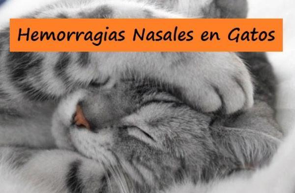 Hemorragias Nasales en Gatos