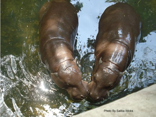 Hippopotamus in love at the zoo in Sri Lanka | (c) Photo By Salika Wicks