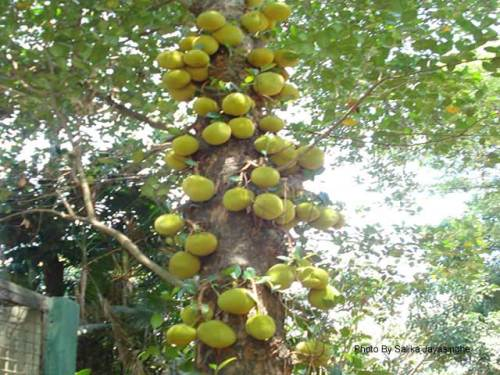 Jackfruit Tree filled with jackfruit