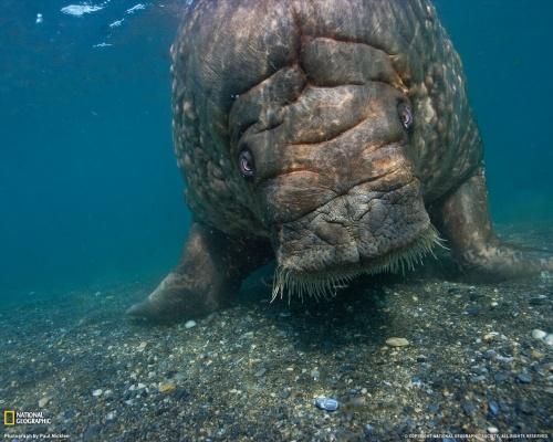 atlantic-walrus