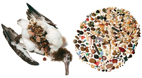 albatros-stomach-with-plastic.jpg
