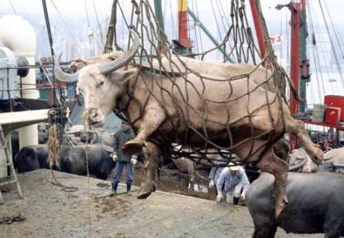 Cattle Cargo On Ship