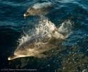 Virus Kills Over 1,000 Bottlenose Dolphins Along U.S. East Coast