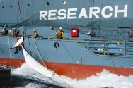Sea Shepherd Finds Japanese Whaling Fleet in Southern Ocean