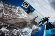 Wearing Jeans, Ship's Captain Jumps into Water Basket with 14-Foot Great White Shark [VIDEO]