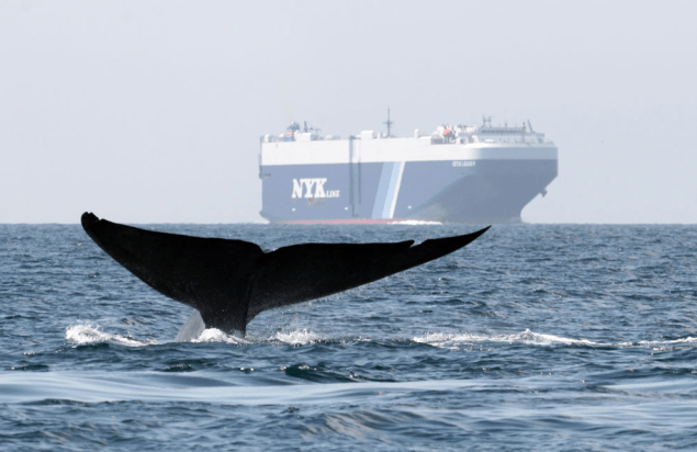 A whale passes within sight of a ship. Photo by John Calambokidis, Cascadia Research